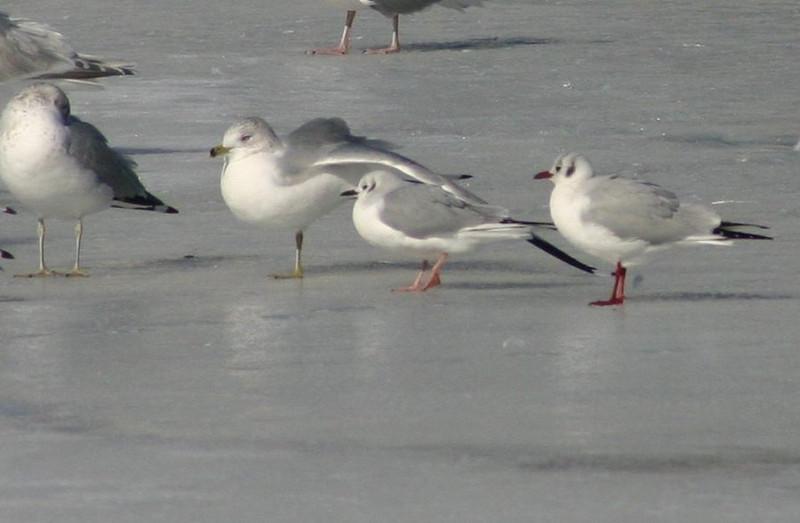 Bonapartes/Black-headed Gull-Sullivans Pond February 15,2013