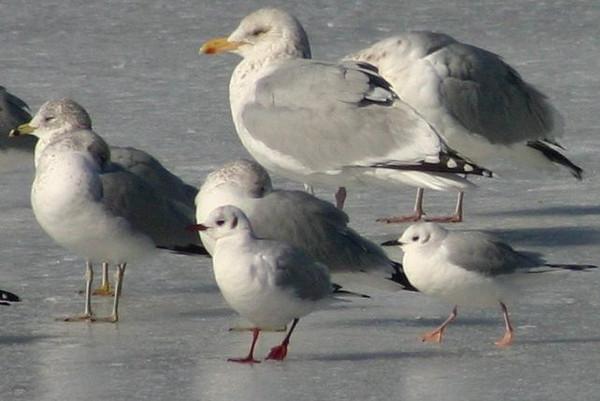 Black-headed/Bonapartes Gull-Sullivans Pond February 15,2013