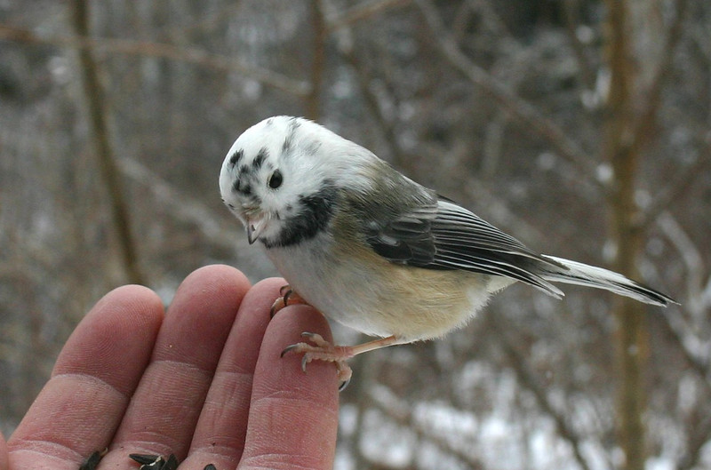 unusual Black-capped Chickadee-Shubie Park Dartmouth January 19th (cropped photo)