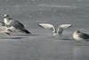 Bonapartes Gull-Sullivans Pond February 15,2013