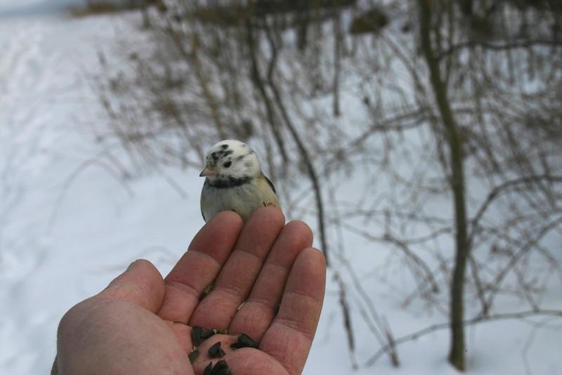 unusual Black-capped Chickadee-Shubie Park Dartmouth January 19th
