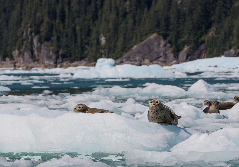 IMAGE: https://photos.smugmug.com/Nature/20130810-LaConte-Glacier/i-HHhhmFM/0/L/IMG_0604-L.jpg