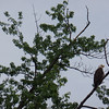 American Bald Eagles - on Mississippi River near Red Wing, MN