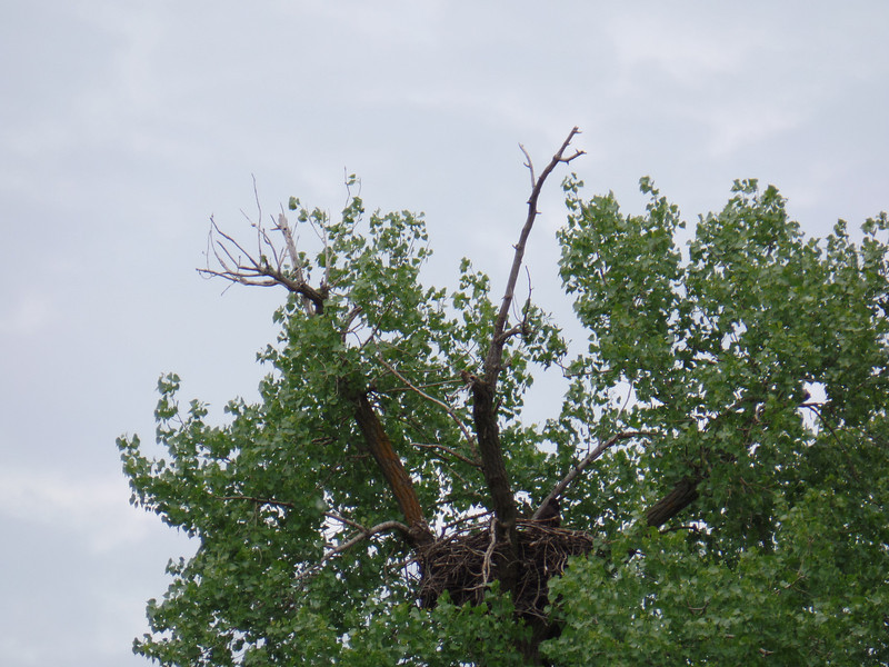 Nest for bald eagle