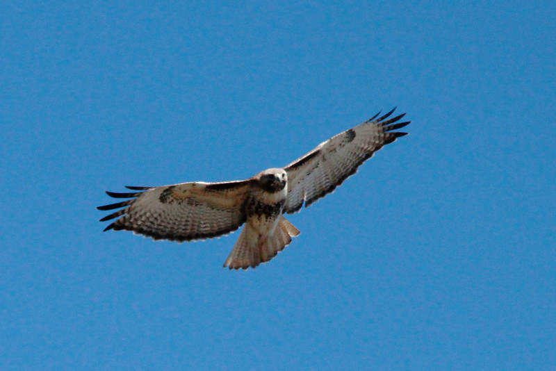 Red-tailed Hawk @ Eagle Bluffs CA