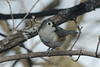 Tufted Titmouse @ Grand Glaize Creek