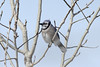 Blue Jay @ Columbia Bottom CA [Visitor Center]