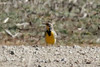 Western Meadowlark @ Columbia Bottom CA