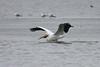 American White Pelican @ West Alton Boat Ramp