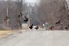 Wild Turkeys @ Baldwin Lake