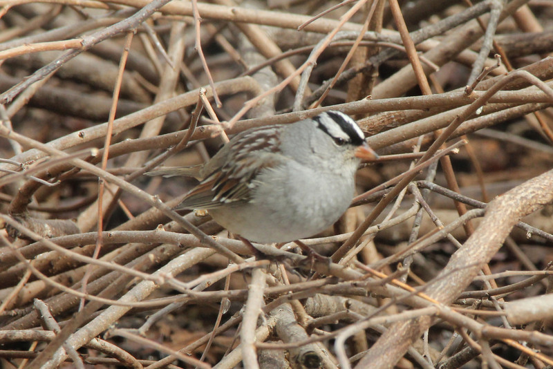 White-crowned Sparrow @ Columbia Bottom CA [Visitor Center]