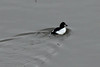 Common Goldeneye (Male) @ Chain of Rocks Bridge [Mississippi River]