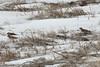 Lapland Longspurs @ Riverlands MBS [Confluence Road