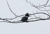 Belted Kingfisher @ Horseshoe Lake SP