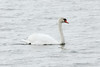 Mute Swan @ Horseshoe Lake SP