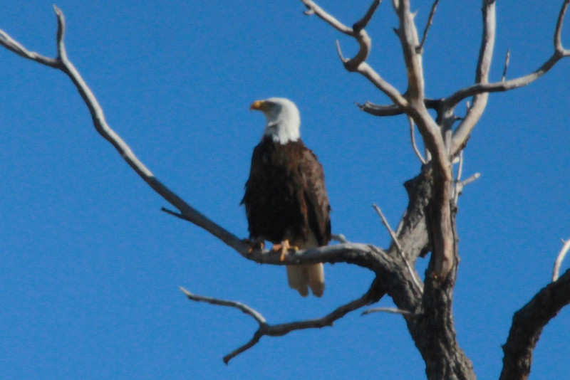 Bald Eagle @ Eagle Bluffs CA