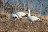 Snow Geese @ Baldwin Lake
