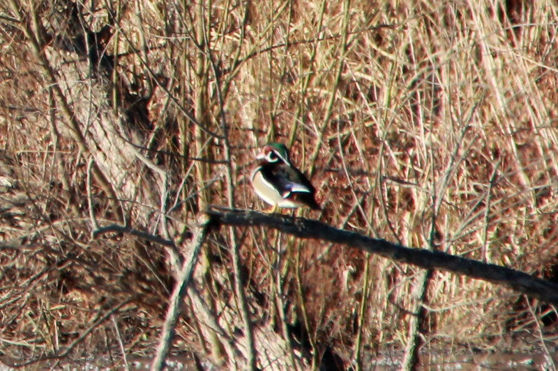 Wood Duck (Male) @ Eagle Bluffs CA