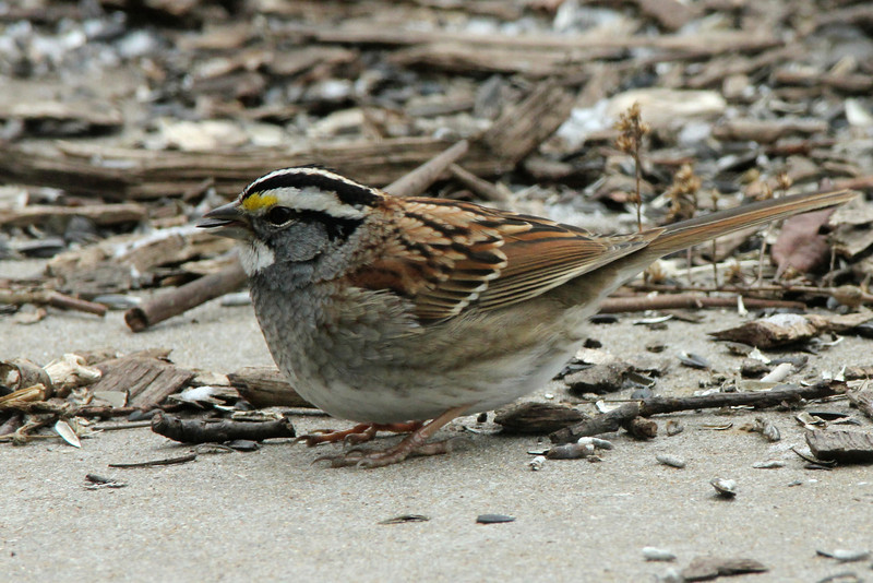 White-throated Sparrow @ Columbia Bottom CA [Visitor Center]