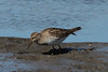 Pectoral Sandpiper @ Columbia Bottom CA