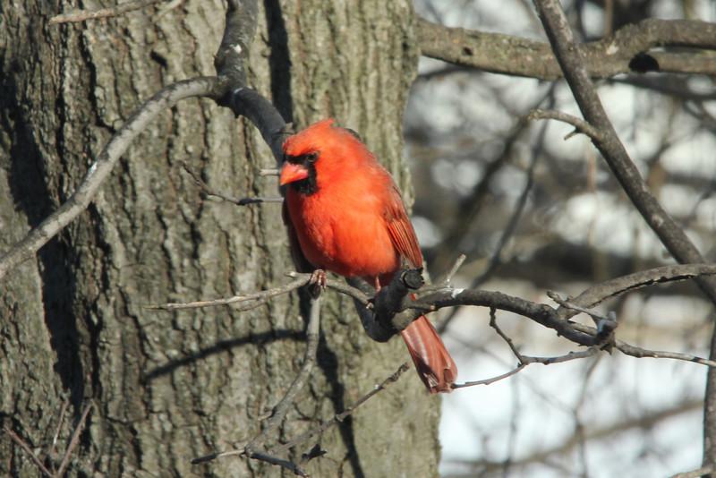 Northern Cardinal (Male) @ Grand Glaize Creek