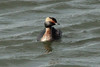 Horned Grebe @ Riverlands MBS [Teal Pond]