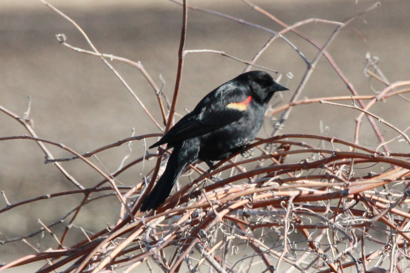Red-winged Blackbird (Male) @ Eagle Bluffs CA