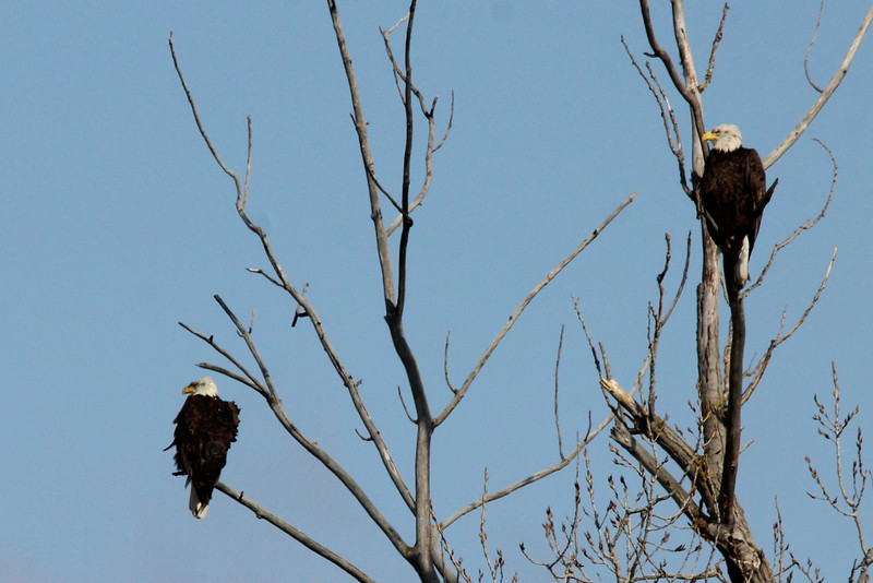 Bald Eagles @ Simpson Lake CP