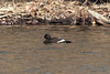 White-winged Scoter @ Simpson Lake CP