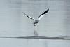 American White Pelican @ Riverlands MBS [Ellis Bay]