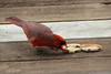 Northern Cardinal (Male) @ Grand Glaize Creek