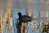 American Coot @ Eagle Bluffs CA