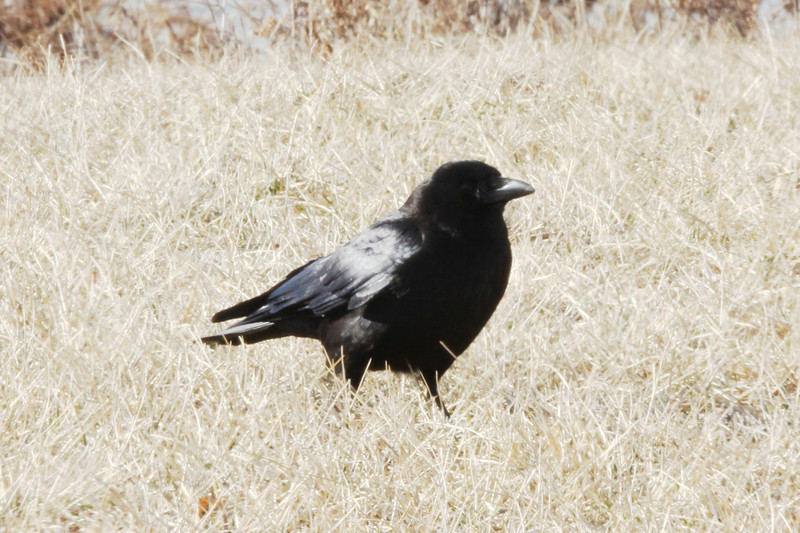 American Crow @ Bellefontaine CA [Catfish Pond]