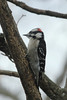 Downy Woodpecker (Male) @ Grand Glaize Creek