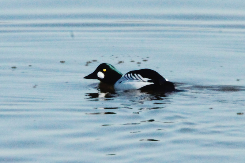 Common Goldeneye (Male) @ Riverlands MBS [Ellis Bay]