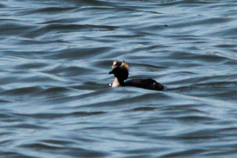 Horned Grebe @ Simpson Lake CP