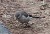 Northern Mockingbird @ Creve Coeur CP