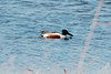 Northern Shoveler (Male) @ Bellefontaine CA [Bass Pond]