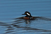 Hooded Merganser @ Eagle Bluffs CA