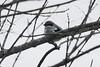 Loggerhead Shrike @ Peabody River King SFWA