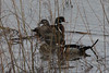 Wood Ducks @ Riverlands MBS [Heron Pond]