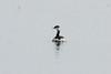 Horned Grebe @ Baldwin Lake