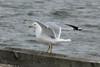Ring-billed Gull @ Baldwin Lake