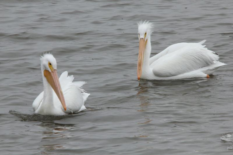 American White Pelicans @ Riverlands MBS [Ellis Bay]