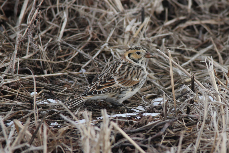 Lapland Longspur @ Columbia Bottom CA