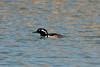 Hooded Merganser (Male) @ Horseshoe Lake SP