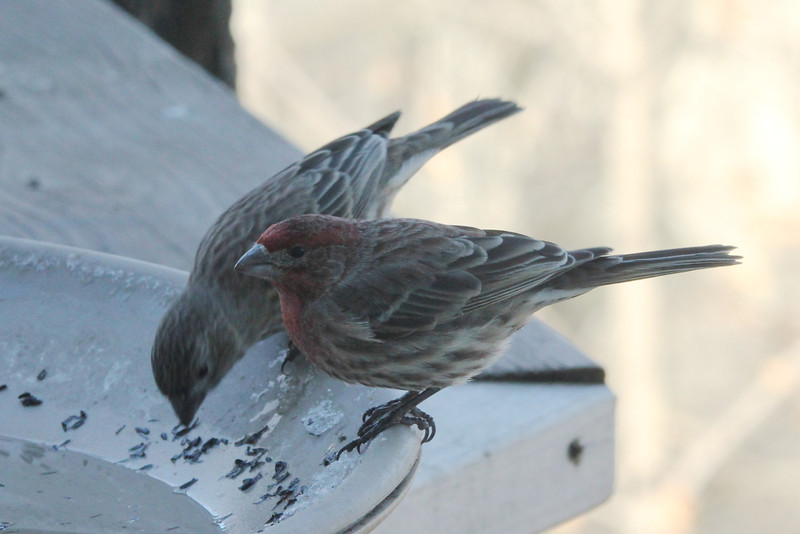 House Finches (Pair) @ Grand Glaize Creek