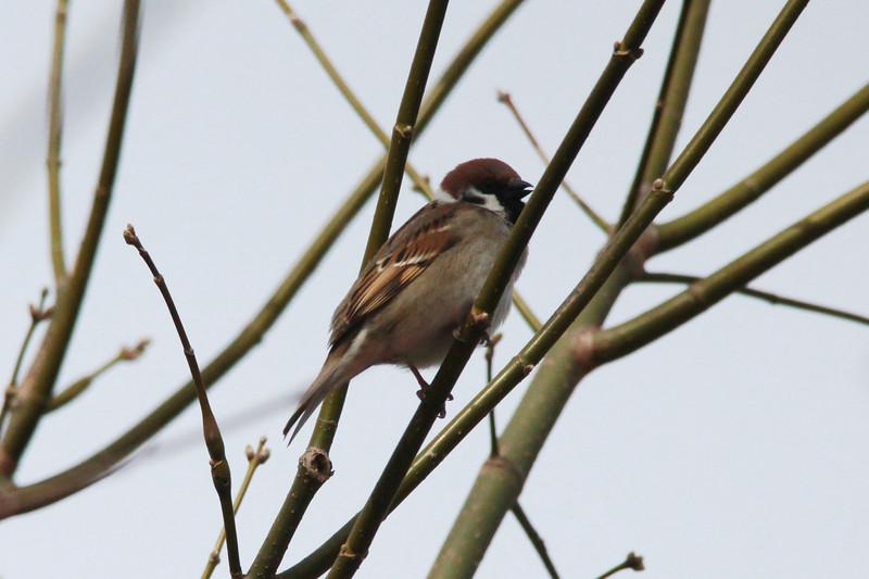 Eurasian Tree Sparrow @ Simpson Lake CP