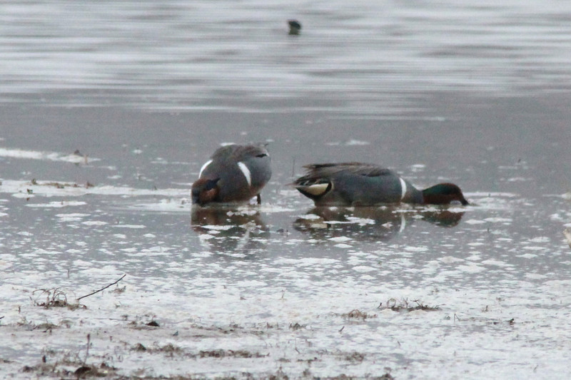 Green-winged Teal @ Creve Coeur CP