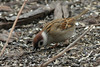 Eurasian Tree Sparrow @ Columbia Bottom CA [Visitor Center]